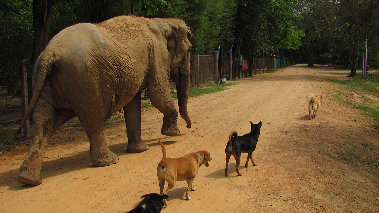 Volunteer with animals in Thailand | KILROY