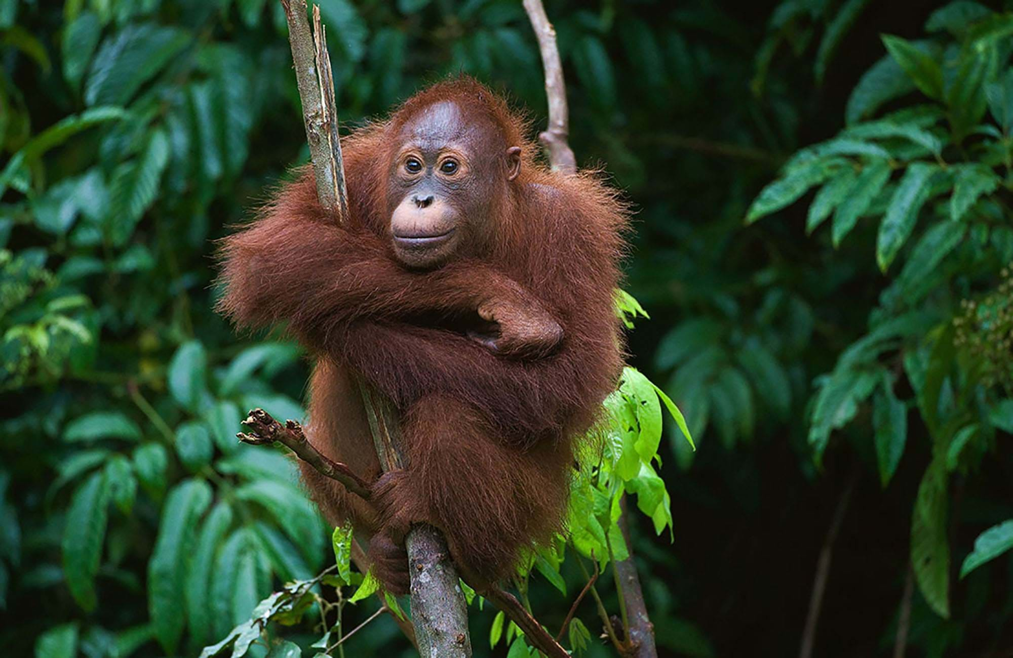 spot orangutans on borneo